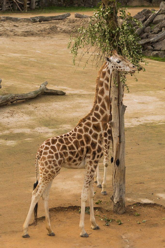 Auckland Zoo Giraffe