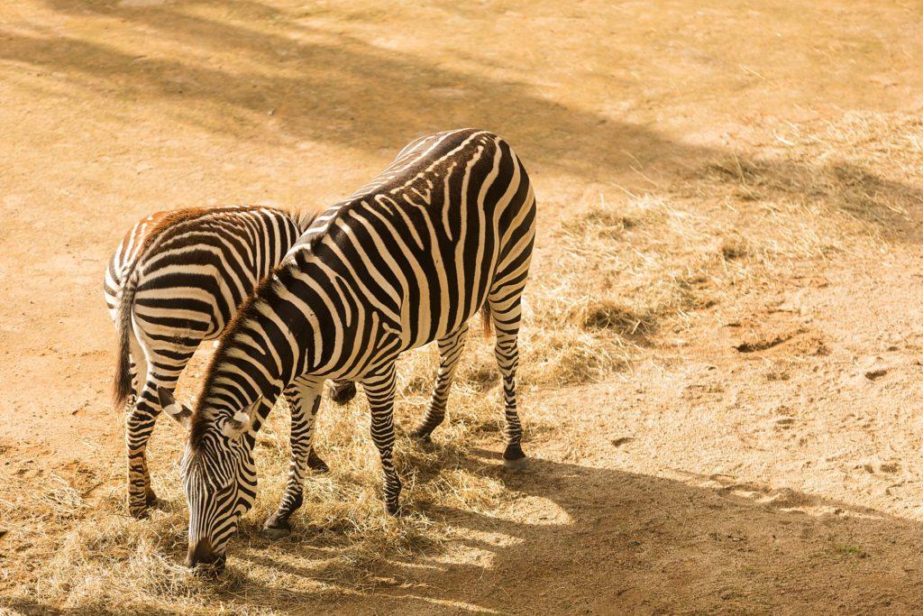 Auckland Zoo Zebra
