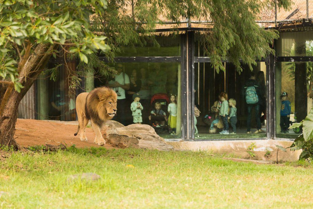 Auckland Zoo Lion