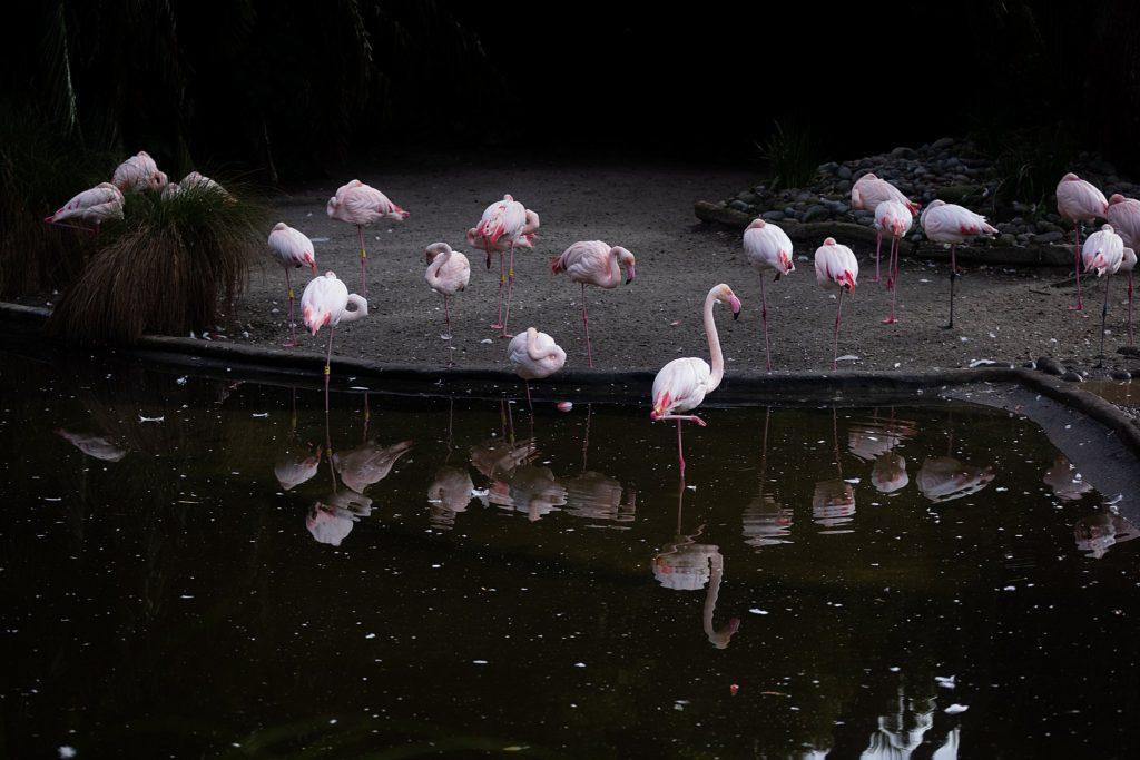 Auckland Zoo flamingo