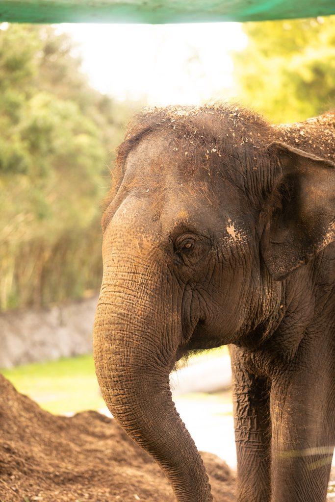 Auckland Zoo Elephant